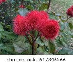 Small photo of Anatto tree, Bixa tree, Achiote tree