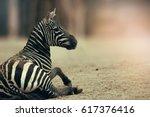 zebra from horses family. face... | Shutterstock . vector #617376416