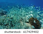 Small photo of Underwater tropical fish schooling on a coral reef in the Pacific ocean (mostly convict surgeonfish Acanthurus triostegus) Rangiroa, Tuamotu, French Polynesia