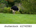Ostrich on a meadow - stock photo