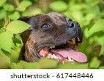 Dog  English Staffordshire Bul...