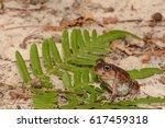 Eastern Spadefoot Toad