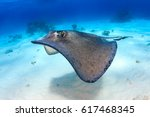 South Stingray Gliding Over A...