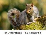 Grey Squirrel Guarding A Nut
