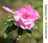 Small photo of Closeup of Desert Rose Tropical flower (Also called Impala Lily, Mock Azalea, Pink adenium) on a tree or Impala Lily beautiful Pink adenium in the garden