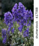 Small photo of Monk's Hood Flowers Aconitum napellus