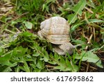 Closeup View Of A Snail With...