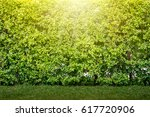 trimed shrub fence and grass. | Shutterstock . vector #617720906