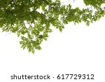 tree branch isolated | Shutterstock . vector #617729312