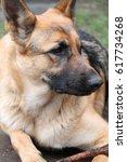 lying german shepherd with a... | Shutterstock . vector #617734268