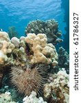 Small photo of Tropical coral reef with Crown-of-thorns starfish (Acanthaster planci). Gota Edibia, Southern Red Sea, Egypt.