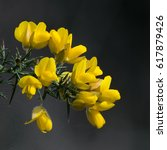 Yellow Gorse Flowers And Thorn...