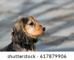 sable coloured female english...   Shutterstock . vector #617879906