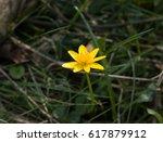 yellow flower of lesser...   Shutterstock . vector #617879912