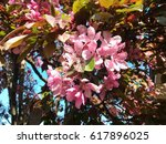 prairiefire crabapple pink... | Shutterstock . vector #617896025