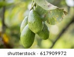 the avocado  persea americana ... | Shutterstock . vector #617909972