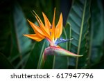 Beautiful Bird Of Paradise...