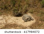 A Gopher Tortoise Emerging From ...