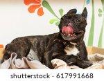 french bulldog dog lies happy...   Shutterstock . vector #617991668