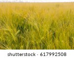 detail of wheat field under the ... | Shutterstock . vector #617992508