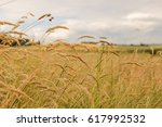 close up of wheat fields under... | Shutterstock . vector #617992532