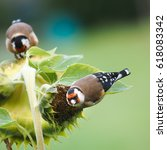 Two Goldfinches On A Sunflower