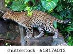 javan leopard   Shutterstock . vector #618176012