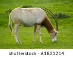 Scimitar Horned Oryx Eating...