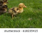cute little wild ducklings in... | Shutterstock . vector #618235415