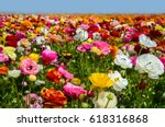 Colorful Ranunculus Fields In...