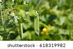 Part Of A Green Peas Plant Wit...