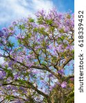 Small photo of Black poui or Jacaranda mimosifolia, sub-tropical tree in blossom with beautiful blue flowers on sky background