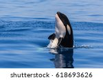 Curious Baby Orca Jumping In...