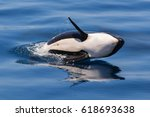 Baby Orca Playing In The Lagoo...
