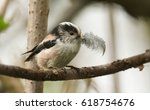Small photo of A cute adult long-tailed Tit (Aegithalos caudatus) with a feather in its beak which it is going to put into its nest.
