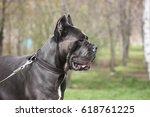 Dog Cane Corso Walking