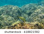 Small photo of Lined Surgeonfish ( Acanthurus lineatus ) swimming around the reef