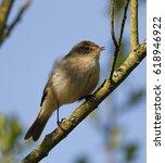 chiffchaff  phylloscopus... | Shutterstock . vector #618946922