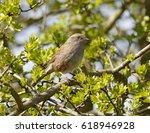 dunnock  prunella modularis  | Shutterstock . vector #618946928