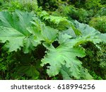 Big Leaves. Image Of  Gunnera...