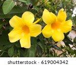 Small photo of yellow allamanda flower in nature garden