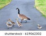Adult Goose Leading Goslings...