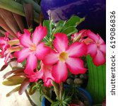 Small photo of Blossom red flowers, Adenium in the pot