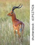 Small photo of The impala (Aepyceros melampus) huge male in the grass