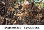 the leaves are dried  dead in... | Shutterstock . vector #619208456