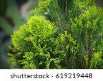 platycladus orientalis  chinese ... | Shutterstock . vector #619219448