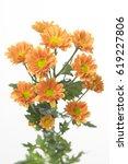 Small photo of Chrysanthemum Indicum Grp spray santini AAA Karibu