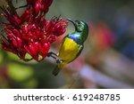 Collared Sunbird In Kruger...