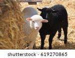 Two Little Sheep Farm. Sheep...