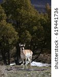 Small photo of Pronghorn (American antelope) in juniper trees.